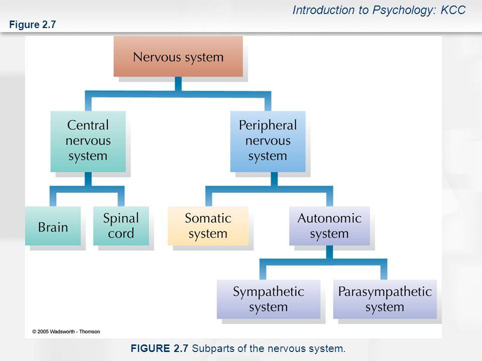 The Nervous System Endocrine System 3A